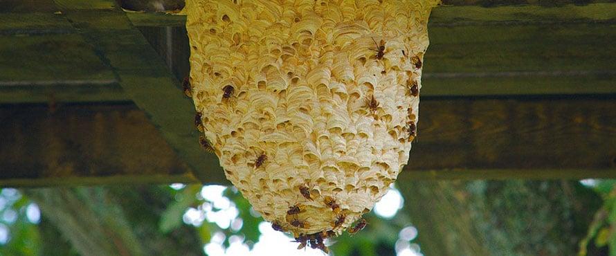 wespennest bestrijden